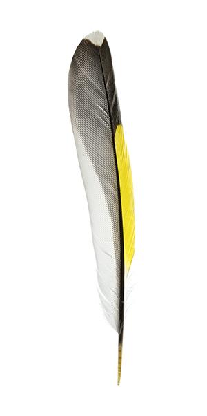 Freigestellte Feder eines Distelfinks. Sie ist weiß, schwarz und gelb.